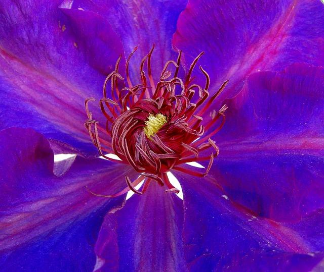 Clematis, Blue, Blossom, Bloom, Close, Flower