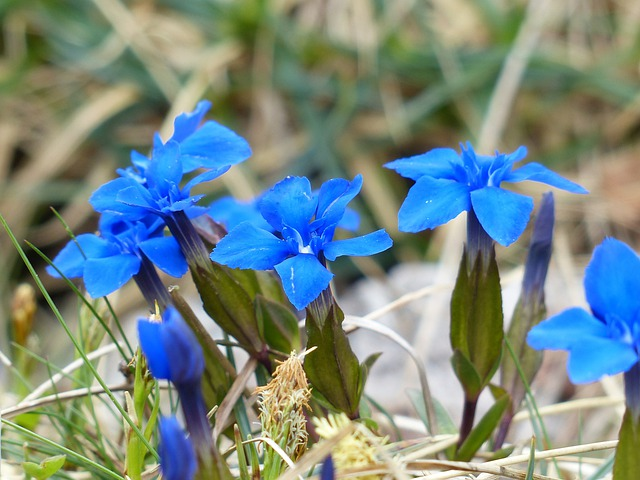 Spring Gentian, Gentian, Flower, Blue, Blossom, Bloom