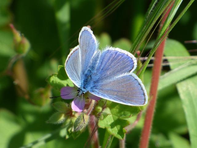 Blue Butterfly, Blaveta Of The Farigola, Detail