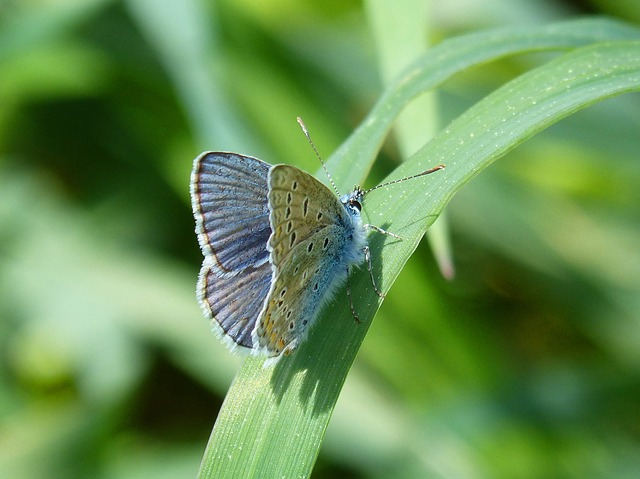 Butterfly, Blue Butterfly, Polyommatus Icarus