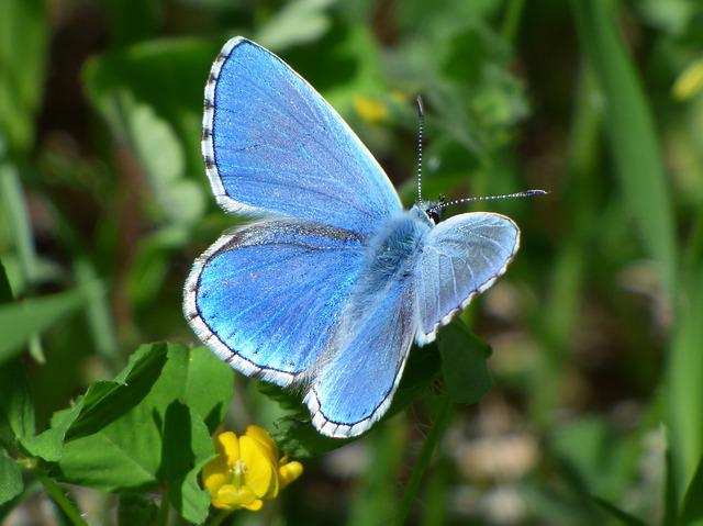 Pseudophilotes Panoptes, Blue Butterfly