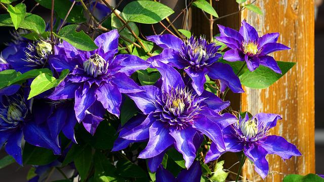 Clematis, Blue, Flower