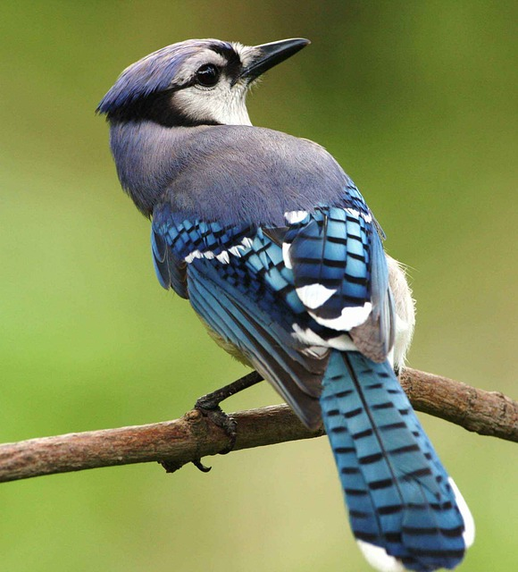 Bird, Blue, Cristata, Cyanocitta, Jay, Birds, Animals