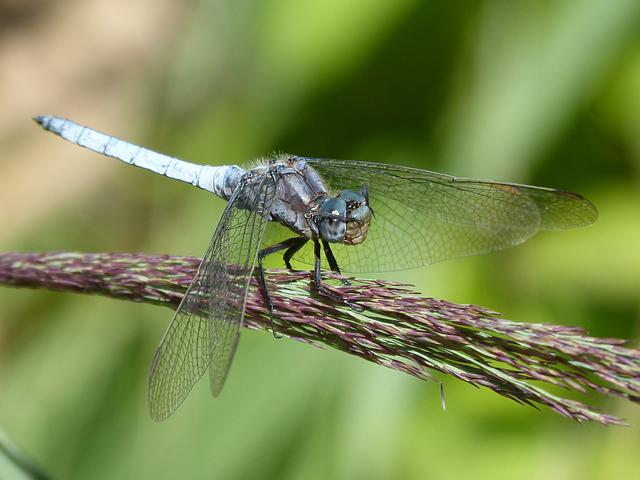 Blue Dragonfly, Cane, Duster, Wetland