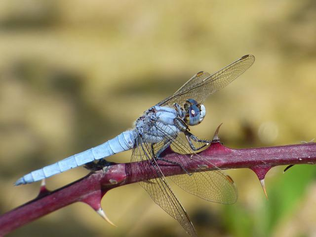 Orthetrum Coerulescens, Blue Dragonfly, Thorns