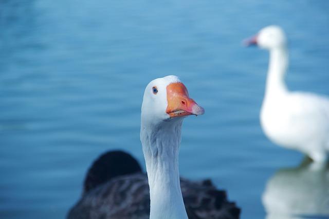 Bird, Water, Nature, Duck, Lake, River, Head, Blue