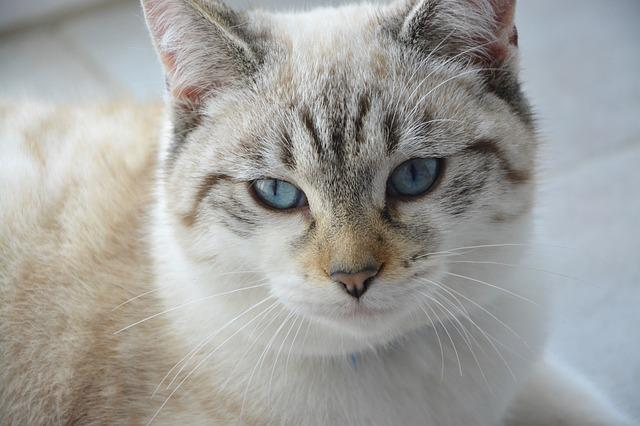 Cat, Pussy, Young Cat, Blue Eyes, Domestic Animal