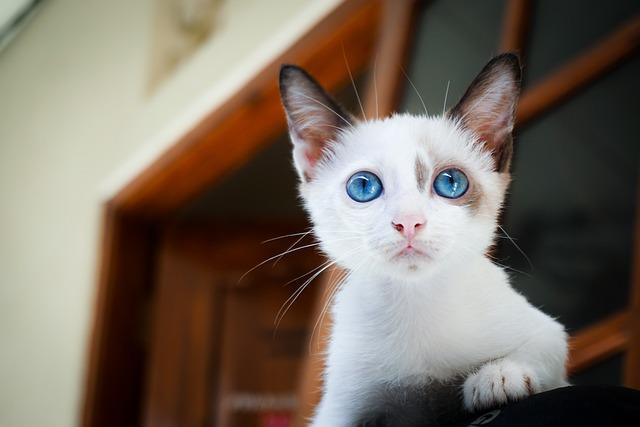 Kitten, Blue Eyes, Cat's Eyes, Cat, Feline, Pet