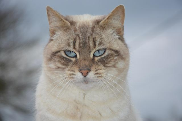 Cat, Pussy Nala, Blue Eyes, Cute, Mammal