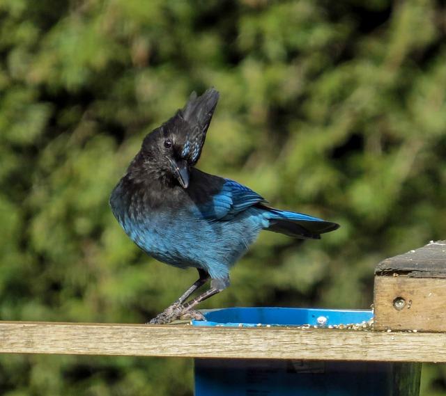 Steller's Jay, Bird, Jay, Wildlife, Blue Feathers