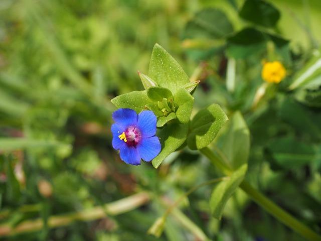 Blue Pimpernel, Flower, Blossom, Bloom, Blue, Raindrop