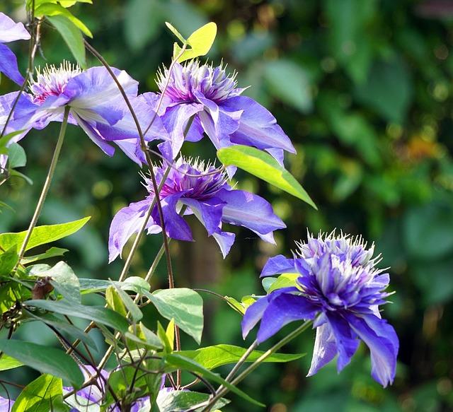 Flower, Blue, Clematis
