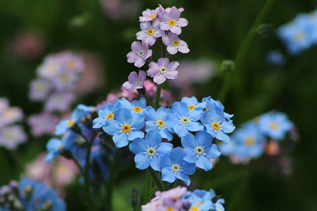 Me-nots, Flower, Nature, Summer, Bloom, Blue Flower