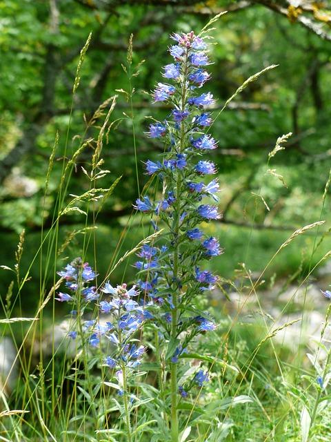 Ordinary Natternkopf, Snake Head, Flower, Flowers, Blue