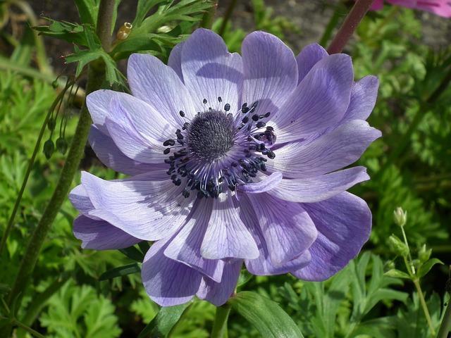 Flower, Anemone, Blue, Spring, Plant, Nature, Garden