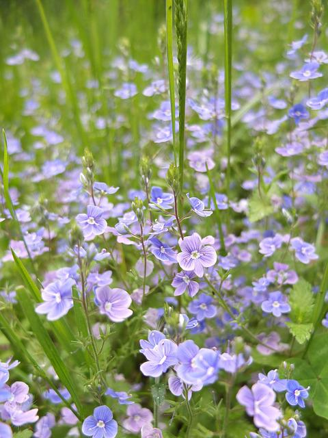 Flowers, Bloom, Spring, Flower, Nature, Blue, Meadow
