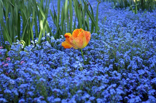 Blue, Orange, Green, Tulip, Forget Me Not, Flowers