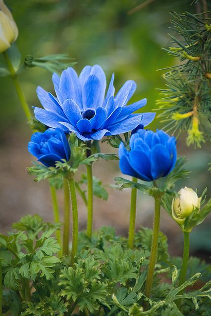 Anemones, Flowers, Blue, Blue Flowers, Garden
