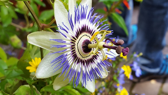 Passiflora, Bloom, Purple, Flower, Blue, Garden