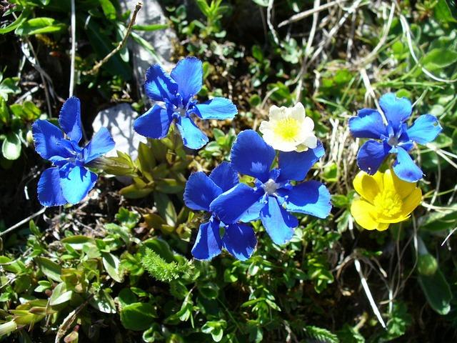 Gentian, Flowers, Blue, Spring Gentian