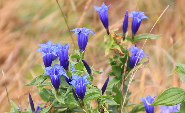 Gentian, Mountain Flowers, Blue, Nature, Flower