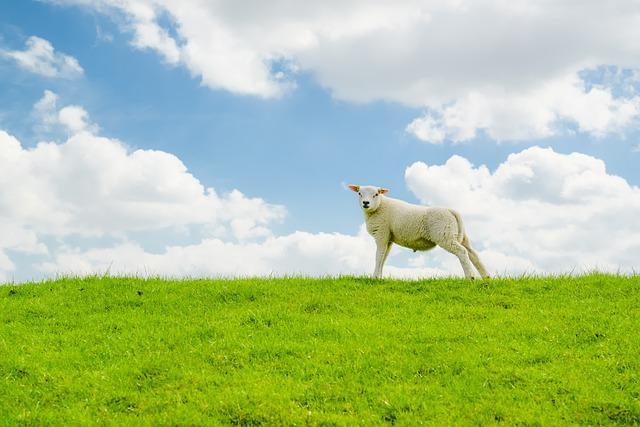 Lamb, Sheep, Hill, Dike, Green, Blue, Animal, Farm