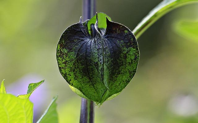 Poison Berry, Blue Lantern Flower, Bud, Infructescence