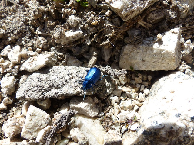 Beetle, Blue, Glazed Includes, Leaf Beetle
