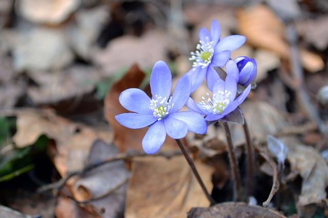 Anemone Hepatica, Liverwort, Flower, Blue, Kidneywort
