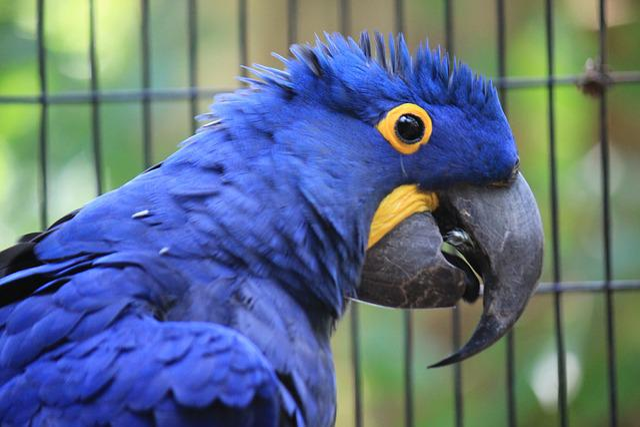 Macaw Hyacinth, Anodorhynchus Hyacinthinus, Blue