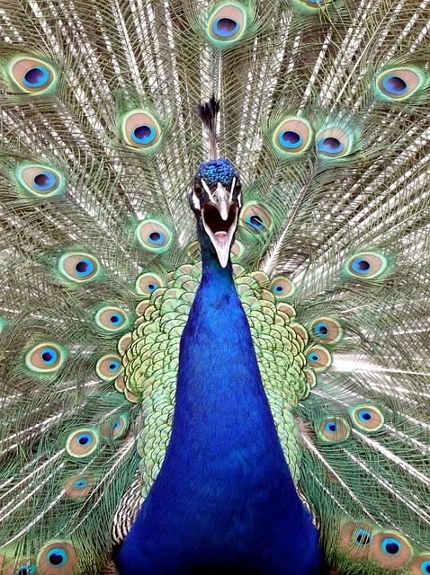 Peacock, Bird, Blue, Nature, Animal, Cute, Beautiful