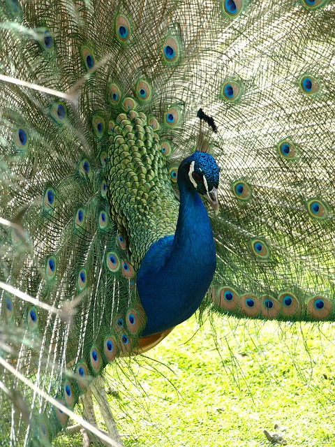 Peacock, Bird, Color, Blue, Pavo Cristatus