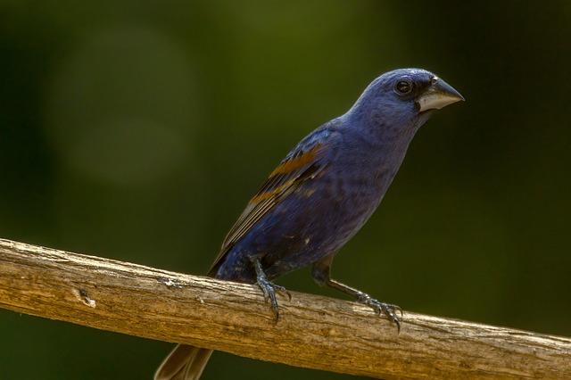 Indigo Bunting, Blue Bird, Blue, Bird, Perching Bird