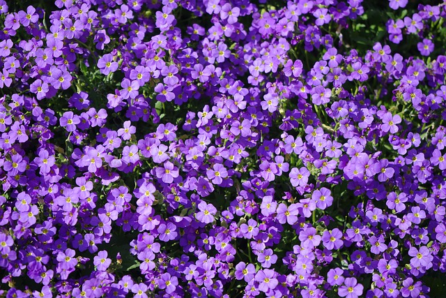 Blue Pillow, Flowers, Violet, Aubrieta, Aubrietien