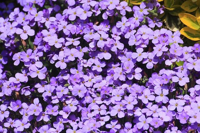 Blue Pillow, Aubrieta, Aubrietien, Genus, Brassicaceae