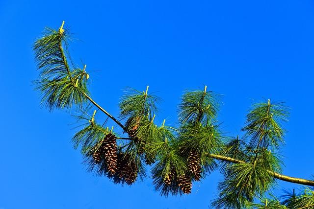 Pine Tree, Conifer, Tree, Pinus Wallachiana, Blue Pine