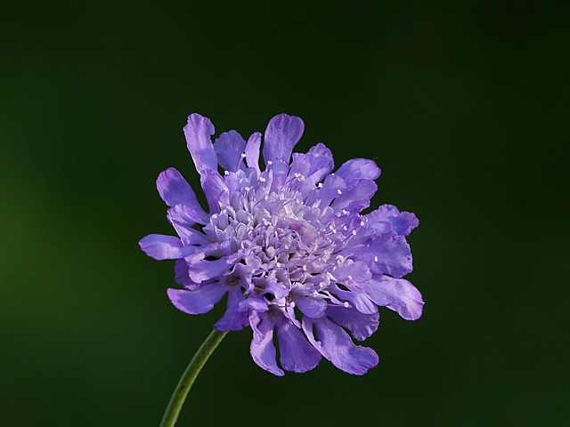 Nature, Plant, Flower, Scabioasa Columbaria, Blue