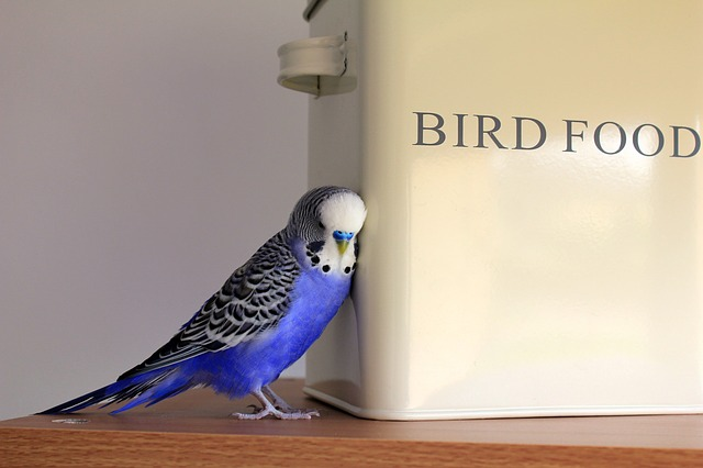 Budgie, Blue, Bird, Budgerigar, Pet, Plumage, Parakeet
