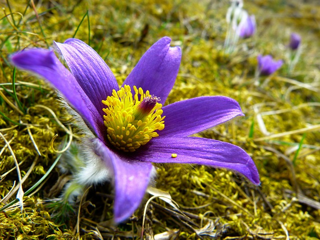 Pasque Flower, Blossom, Bloom, Flower, Purple, Blue