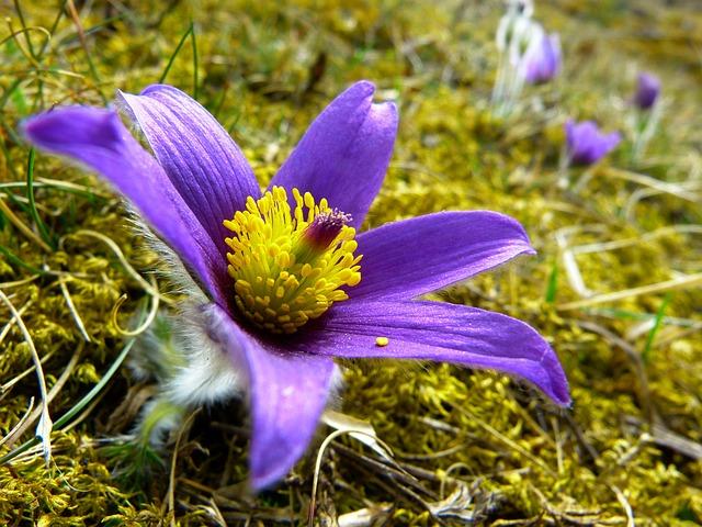 Pasque Flower, Blossom, Bloom, Flower, Purple, Blue