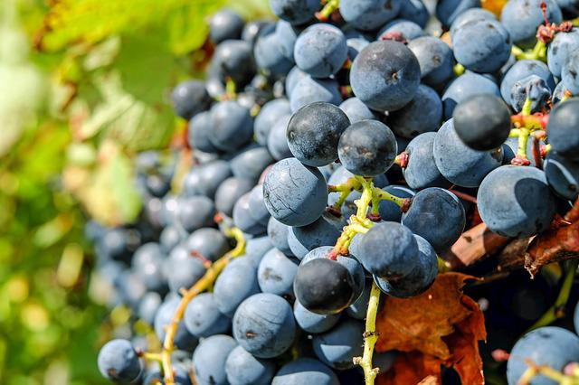Grapes, Fruit, Blue, Blue Grapes, Ripe Grapes