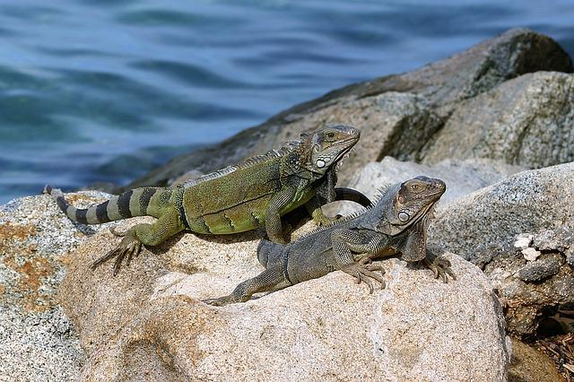 Aruba, Lizard, Sea, Blue, Nature, Caribbean, Stone