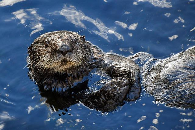 Sea ​​otter, Aquatic Animal, Blue, Water