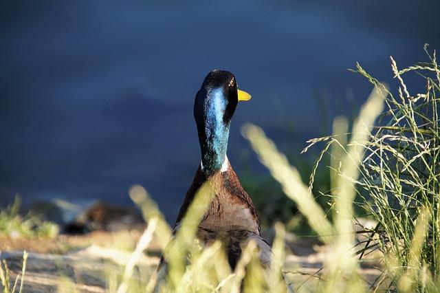 Duck, Wild, Drake, Sitting, Blue, Head, Water, Bird