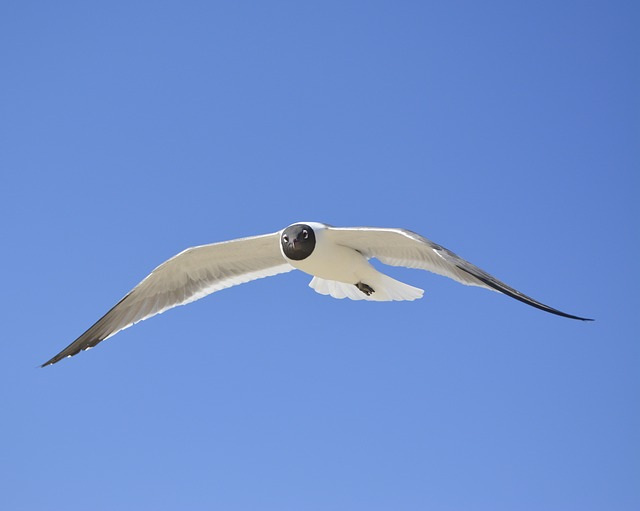 Seagull, Laughing Gull, Nc, Blue Sky, Seabird, Bird