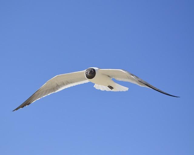 Seagull, Laughing Gull, Nc, Blue Sky, Seabird, Bird