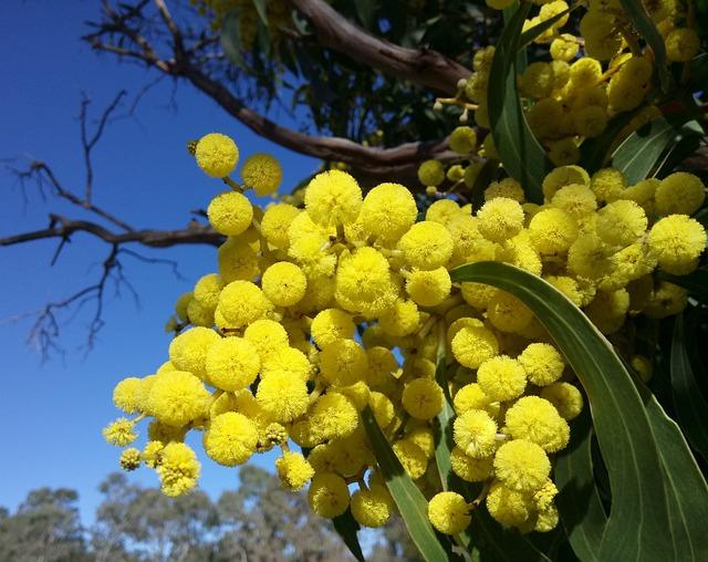 Wattle Blossoms, Springtime, Blue Sky, Acacia, Blossoms