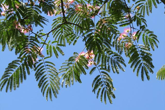 Silk Tree, Blue Sky, Wallpaper