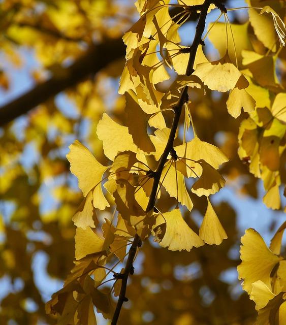 Yellow Leaves, Gingko Tree, Maidenhair Tree, Blue Sky