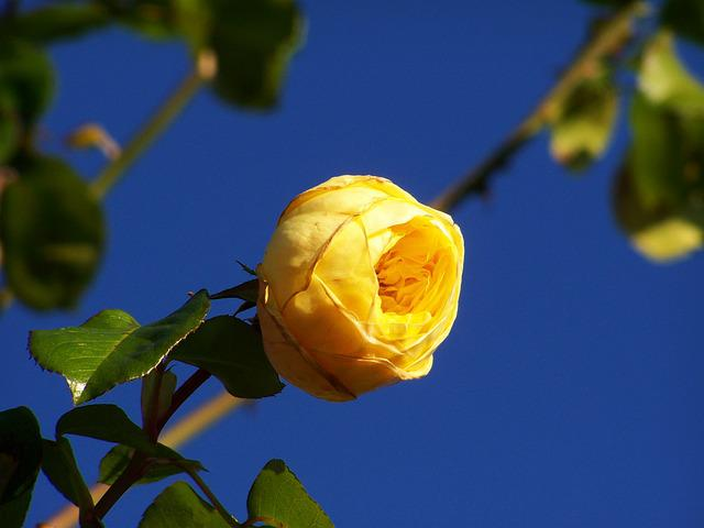 Rose, Yellow Roses, Blue Sky